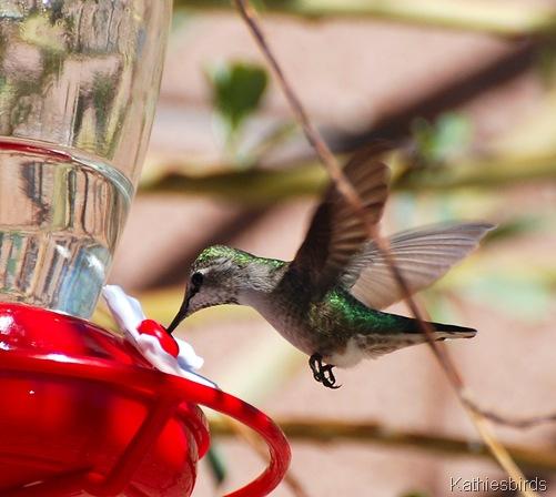 11. hummingbird-kab