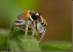 Amazing Pictures of Animals, photo, Nature ,exotic, funny, incredibel, Zoo, Maratus volans,  Peacock spider or Gliding spider, Alex (8)