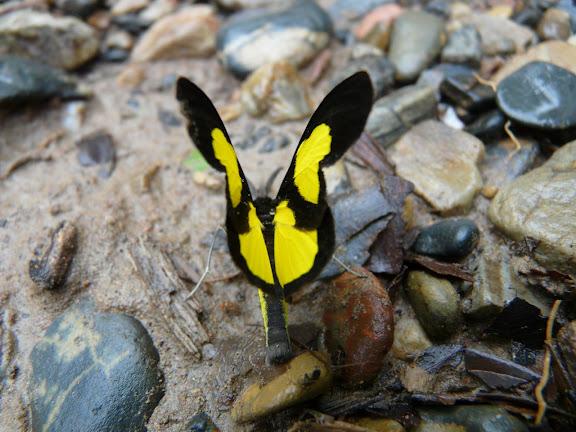 Geometridae : Sterrhinae : Cyllopoda jatropharia LINNAEUS, 1758. Taipiplaya (alt. 900 m). Bolivie, 29 janvier 2008. Photo : J. F. Christensen