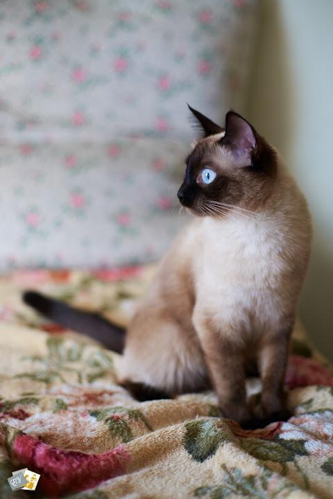 Фотокошка, обучение фотографии, фотокурсы, тайская кошка