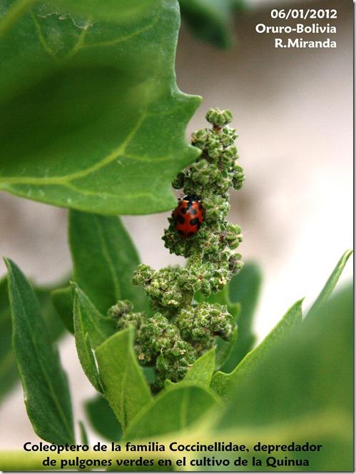 Coccinellidae depredaror de pulgones verdes en el cultivo de la quinua-Rubén Miranda