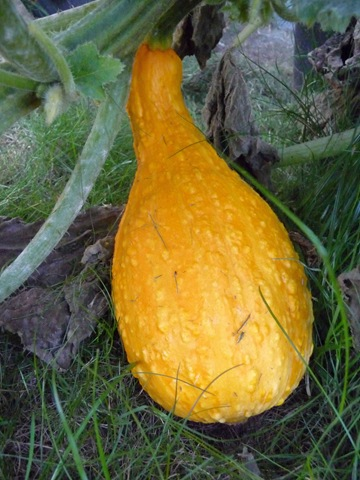 002 Sommarsquash 'Yellow Crookneck' Daniel Grankvist