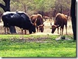 Buffalo-Cows