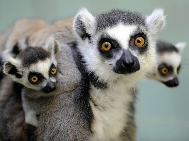 Lemurs in Madagascar are the most endangered mammals in the world, say scientists. Photo: The Independent