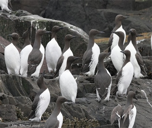 Amazing Pictures of Animals, Photo, Nature, Incredibel, Funny, Zoo, Guillemots, seabird, Bird, Alex (10)