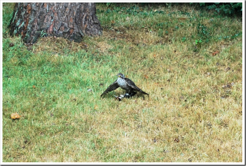 Female Sparrowhawk catching a Juvenile Great Spotted Woodpecker