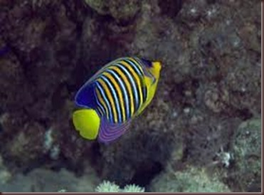 Amazing Pictures of Animals, photo Nature, exotic, funny, incredibel Zoo, Regal angelfish, Alex (10)