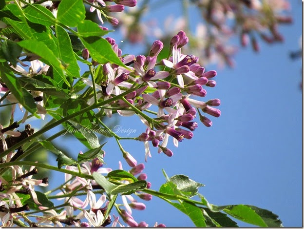 Chinaberry_Blossoms