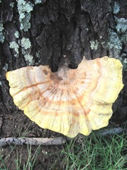 Fall 2011 huge fungi at dads 1