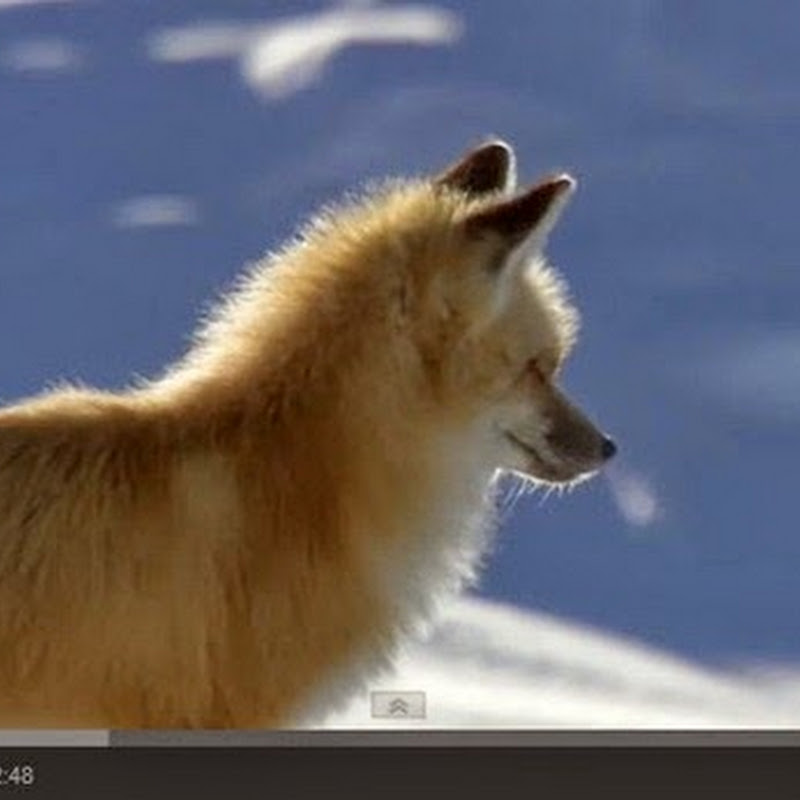 Μια κόκκινη αλεπού εντοπίζει ποντίκια
