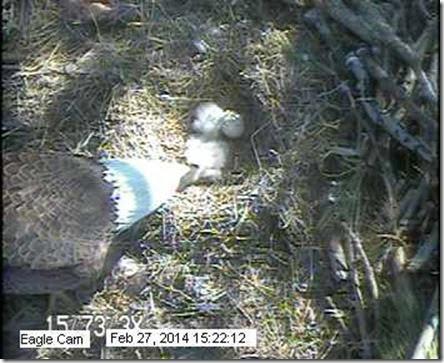 eagle feeding 14