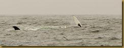 Humback fluke and fin MSB_7292 NIKON D300S June 12, 2011