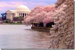 washingtondc20cherry20blossoms202