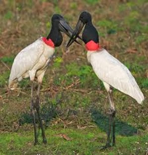 Amazing Pictures of Animals, Photo, Nature, Incredibel, Funny, Zoo, Jabiru mycteria, Bird, Aves, Alex (9)
