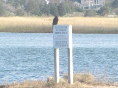 11.2011 crow on sign grays beach