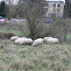 Hütetraining - Schafe hüten