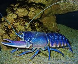 Amazing Pictures of Animals, photo, Nature, exotic, funny, incredibel, Zoo, Homarus gammarus, European lobster or common lobster, Alex (5)