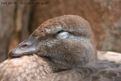 Day040 Duck Duck Duck