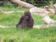 2005.05.06-037 gorille