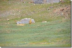 vers sarchu 059 marmotte