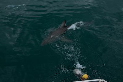 shark-14