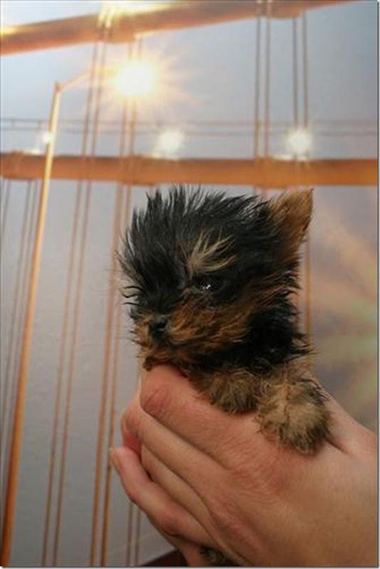 Terrier Meysi (7)