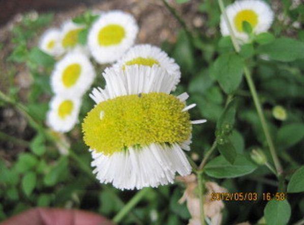 Mutated daisy from Sakai city Mikuni-Cho, Sakai-Ku, near the Fukushima nuclear plant. Photo: blog.donga.com