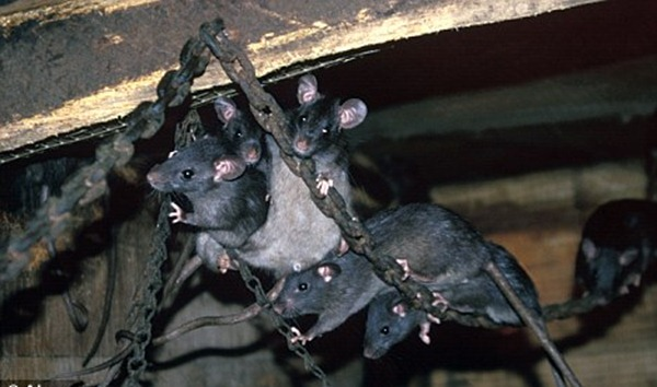 Black rats in Montecristo