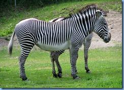 0266 Alberta Calgary - Calgary Zoo Destination Africa - African Savannah - Grevy's Zebra