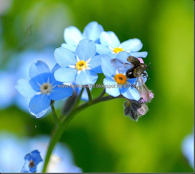 pikkutukkikärsäkkäästä (Hylobius pinastri)  muita hyönteisä 028