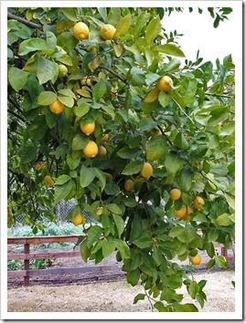 120103_lemon_21