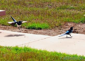 17. magpies-kab