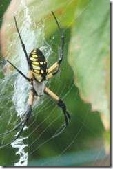 Black-and-Yellow-Spider_web