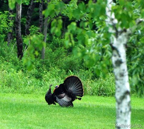 8. turkeys-kab