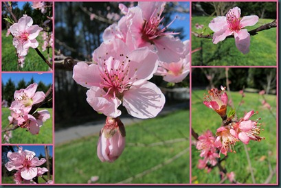 peach blossoms collage