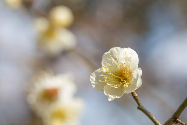 白い梅の画像