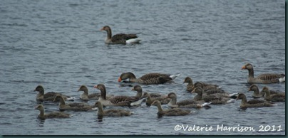 4-greylags
