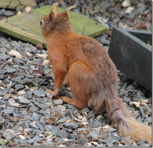 red-squirrel-injured-tail-1
