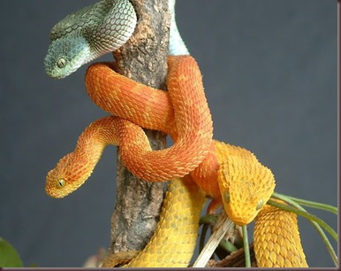 Amazing Animals Pictures The Bush Viper (6)