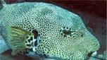 Nouvelle-Calédonie poisson ballon étoilé