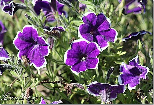 FPC_Petunia_Rythm_and_Blues2
