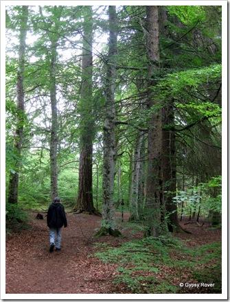 Red Cedar forest at the Invermoriston Falls.