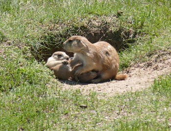 Prairie Dog Mom & Pups