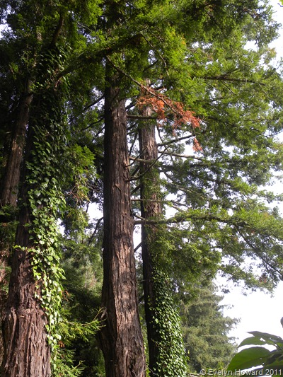 Redwood © Evelyn Howard 2011