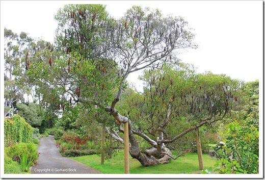 130715_KulaBotanicalGarden_Banksia-ericafolia_001