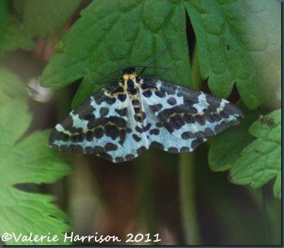 magpie-moth