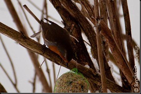 birds_20120308_robin1