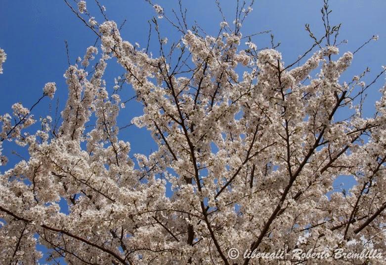 2014-03-21_Ciliegio giapponese_Lierna (26)