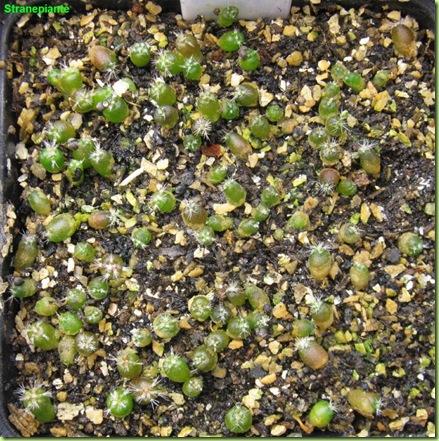 Stenocactus multicostatus-2011-02-27_00003IMG_1230