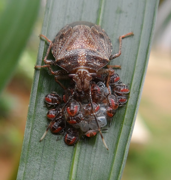 Brown Marmorated Stink Bug (Babies) | Project Noah
